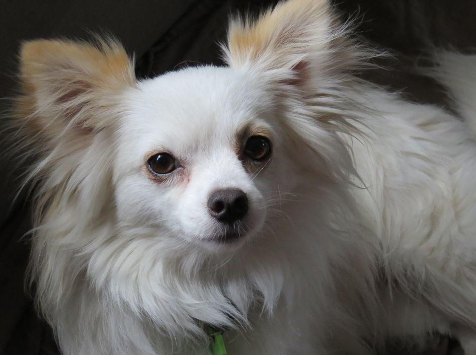 Cómo cuidar a un Chihuahua Cabeza de Venado de pelo largo