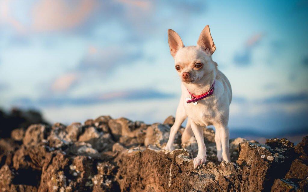 Cómo es el Chihuahua Cabeza de Venado blanco