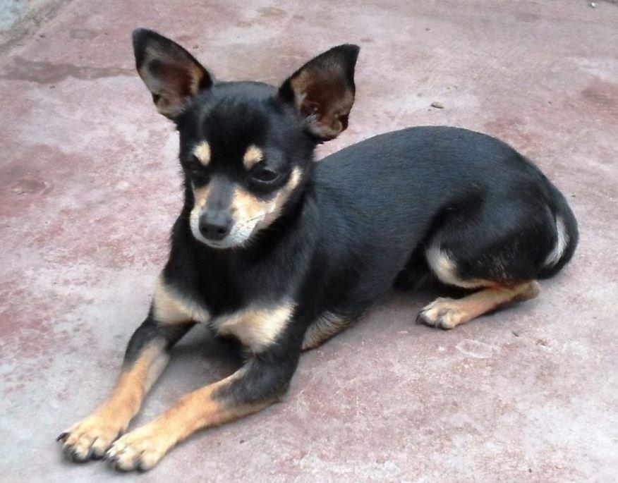 Cómo es el Chihuahua Cabeza de Venado negro