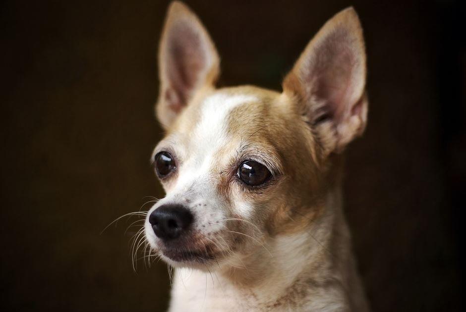 Carácter y temperamento del Chihuahua Cabeza de Venado