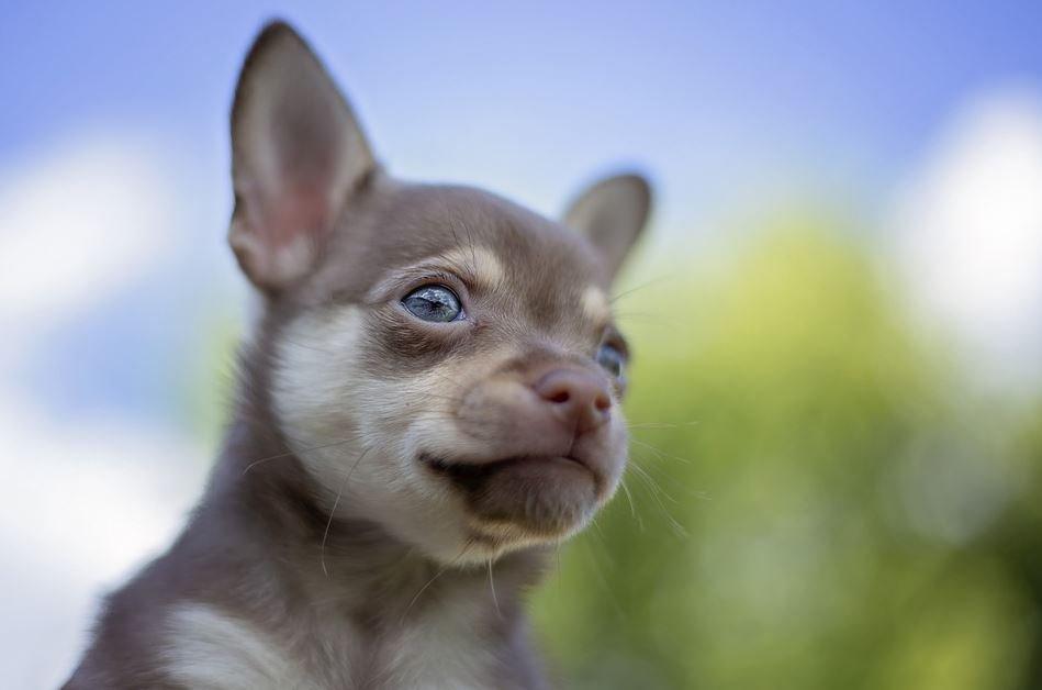 Características del Chihuahua Cabeza de Venado color café