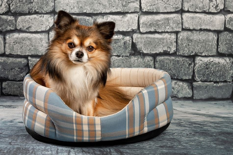 Características del Chihuahua Cabeza de Venado de pelo largo