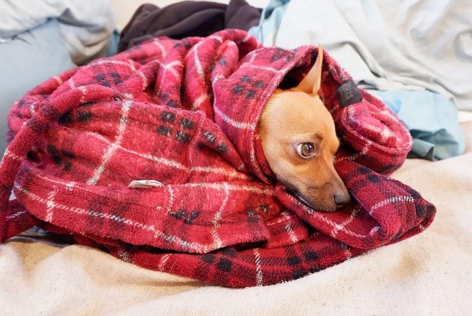 Características del Chihuahua