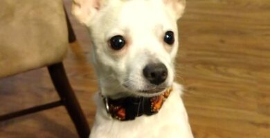 Chihuahua Cabeza de Venado blanco