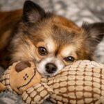 Chihuahua Cabeza de Venado color café