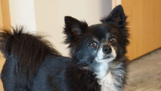 Chihuahua Cabeza de Venado de pelo largo