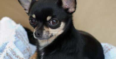 Chihuahua Cabeza de Venado negro