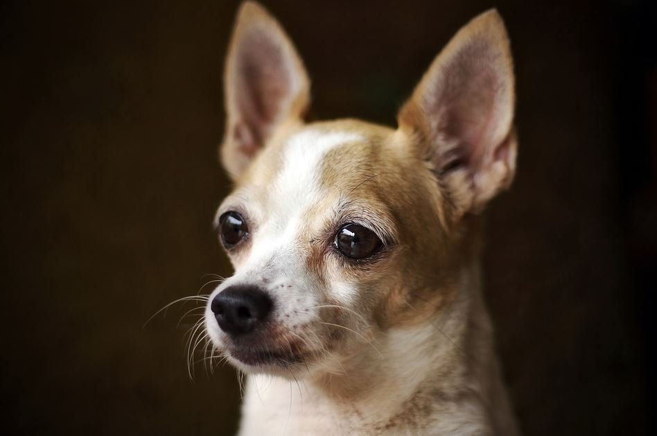 Chihuahua Cabeza de Venado
