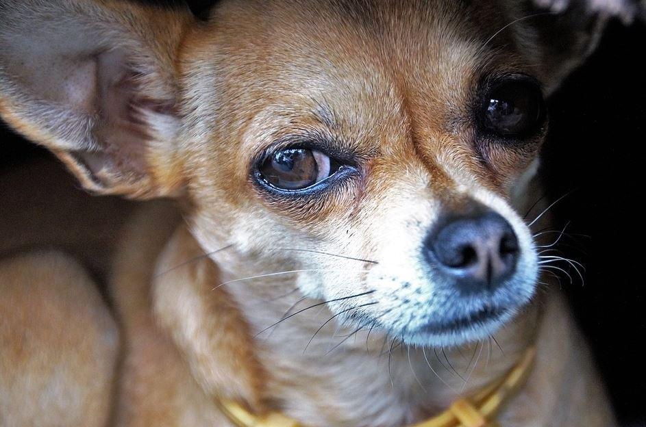 Cuánto mide un Chihuahua
