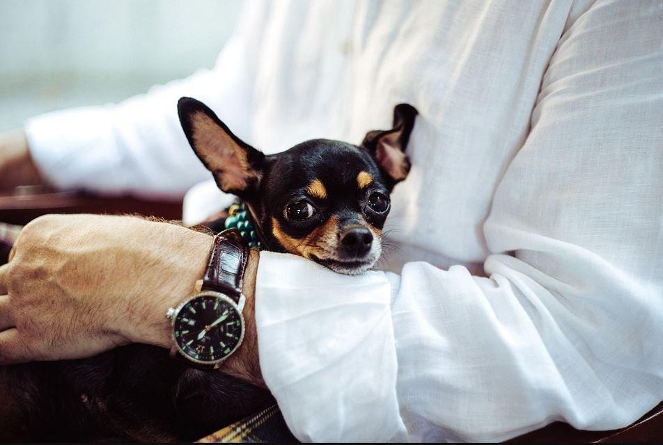 Cuánto vive un Chihuahua Cabeza de Venado