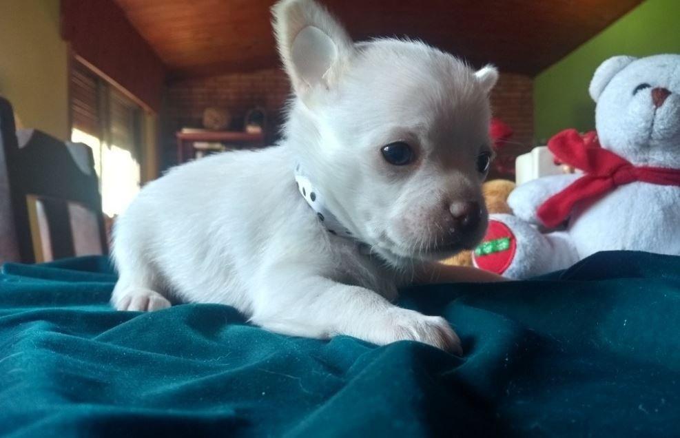 Cuidados Chihuahua Cabeza de Venado blanco