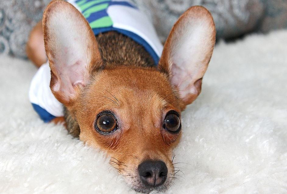 Cuidados de un Chihuahua Cabeza de Venado cachorro