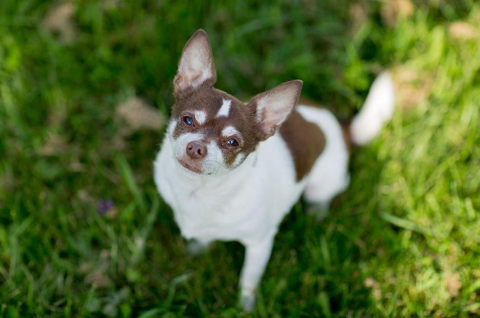 Cuidados del Chihuahua Cabeza de Venado color café
