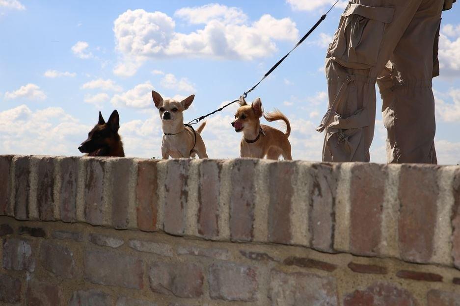Cuidar un Chihuahua Cabeza de Venado