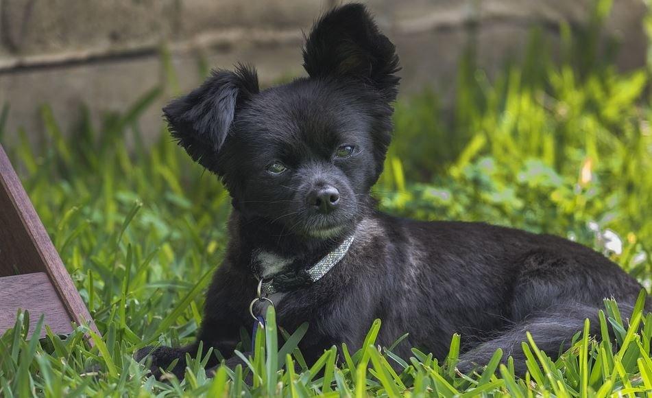 Cuidar un cachorro Chihuahua Cabeza de Venado