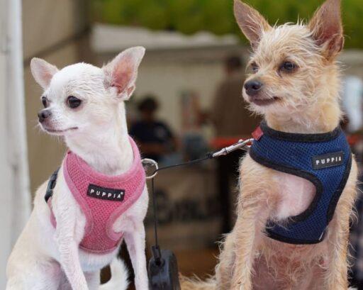 Diferencias entre Chihuahua Cabeza de Venado y Cabeza de Manzana