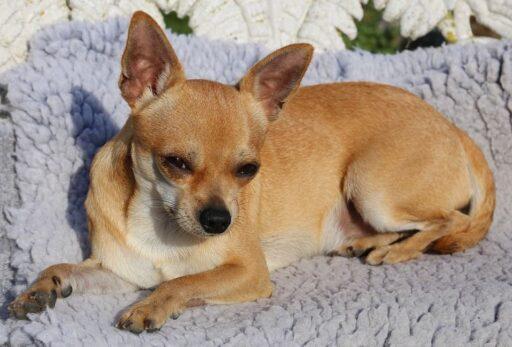 Enfermedades del Chihuahua Cabeza de Venado