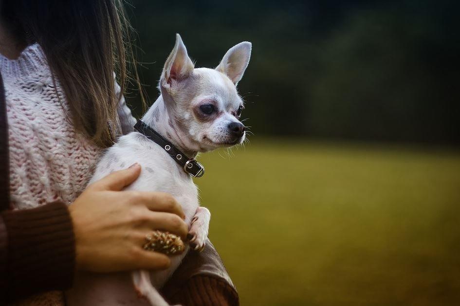Esperanza de vida de un Chihuahua Cabeza de Venado