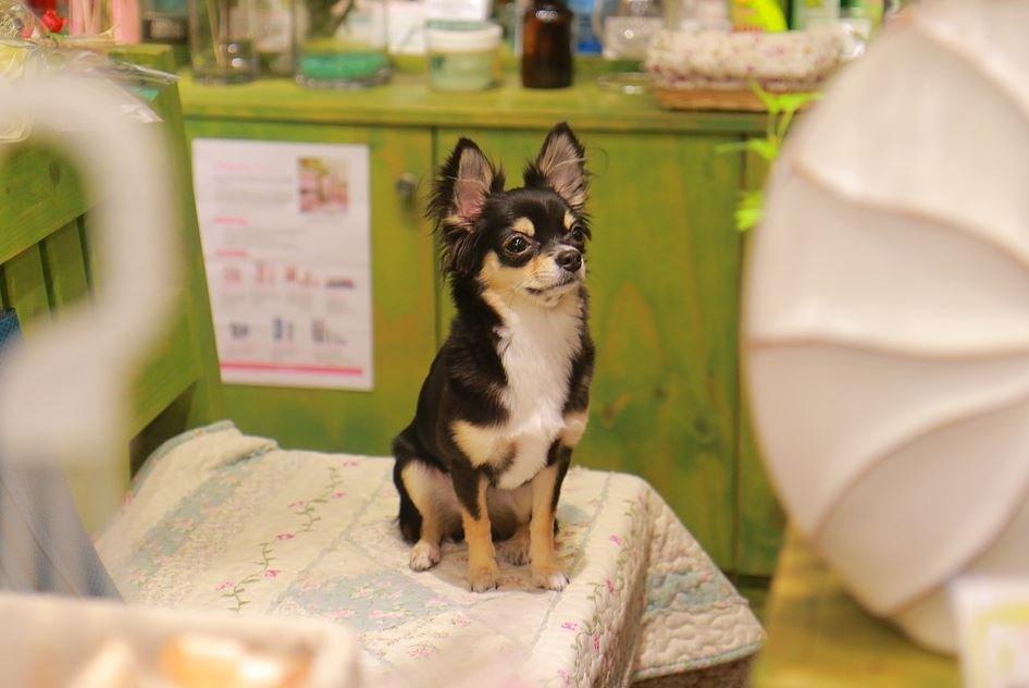 Otras enfermedades del Chihuahua