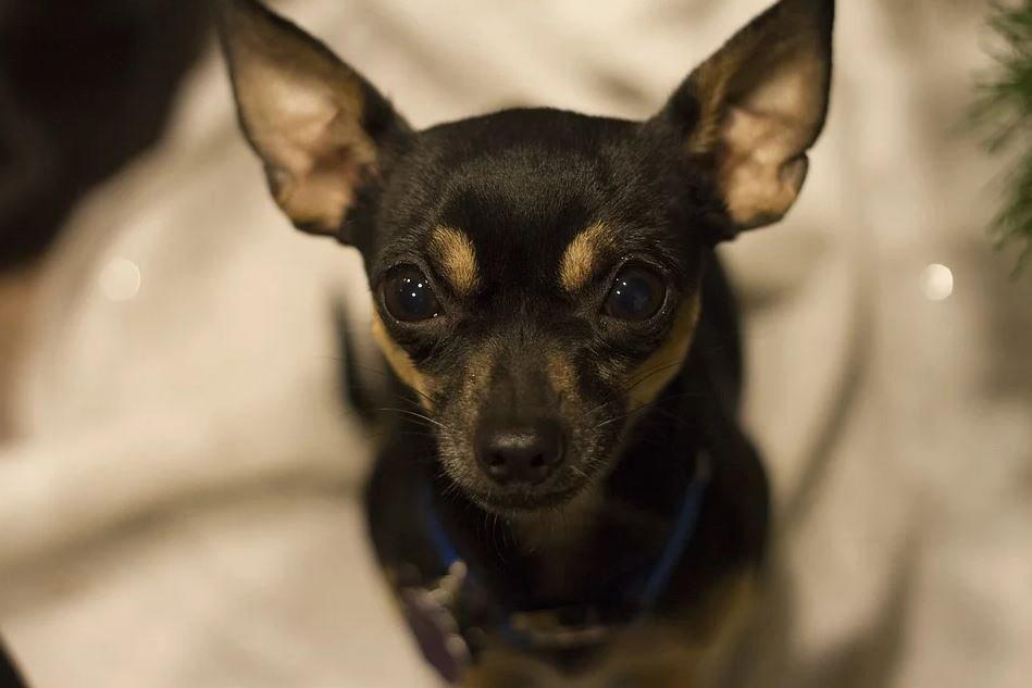 Principales características del Chihuahua Cabeza de Venado