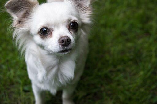 Tamaño de Chihuahua Cabeza de Venado