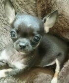 Adoptar chihuahua toy