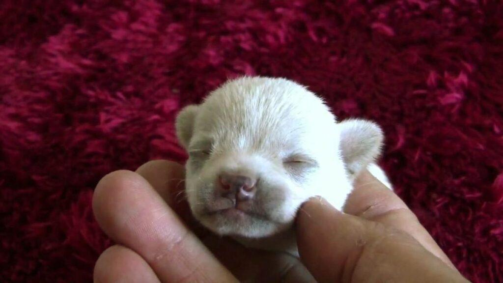 Adoptar un cachorro chihuahua 4 aspectos a considerar