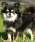 Chihuahua de pelo largo negro