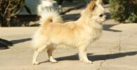 Chihuahua pelo largo blanco