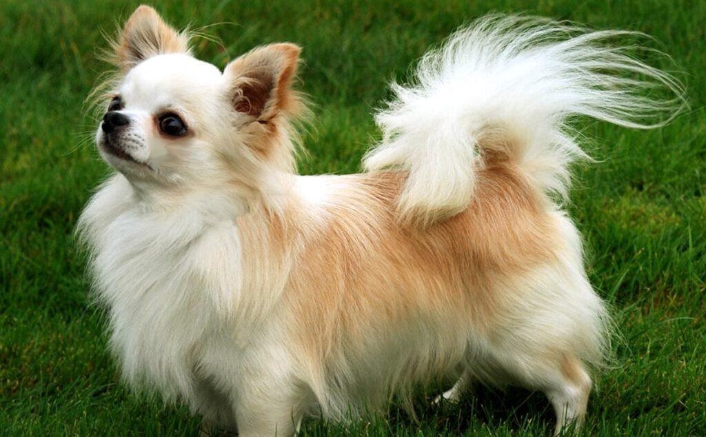 La imagen tiene un atributo ALT vacío; su nombre de archivo es Chihuahua-pelo-largo-blanco-Caracteristicas-temperamento-y-mas-1024x634.jpg