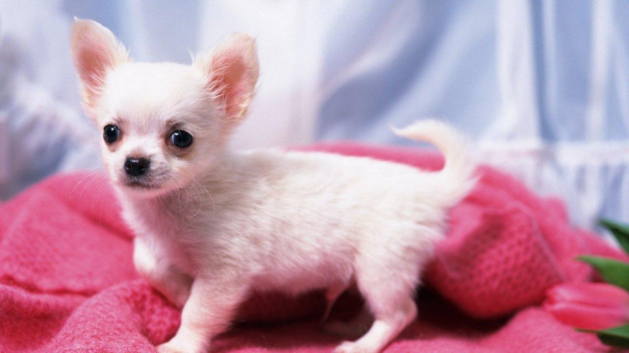 Consejos para la adopción de un chihuahua blanco