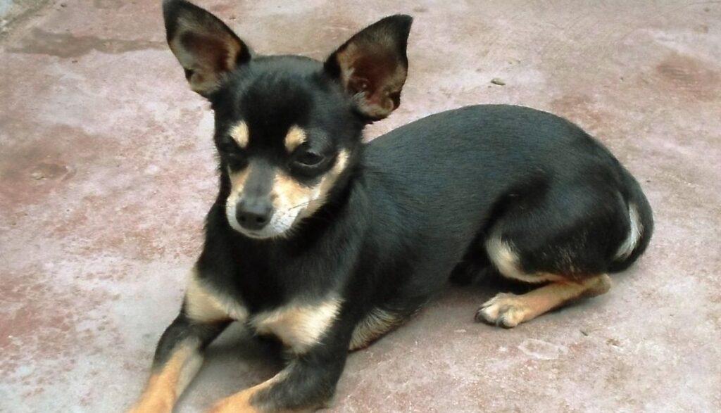 Descripción del Chihuahua de pelo corto