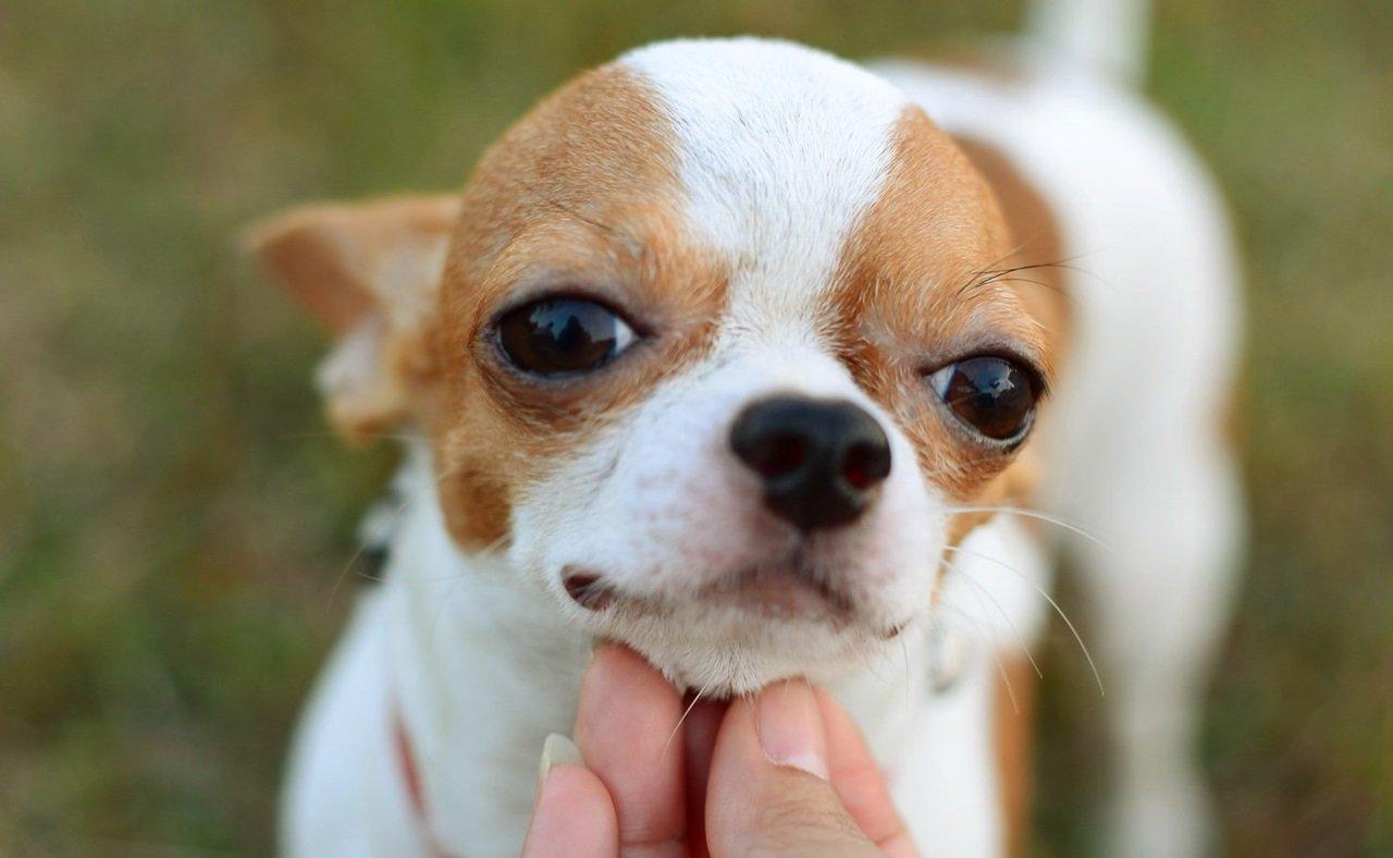 Qué cuidados necesitan los cachorros chihuahua cabeza de manzana
