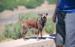Arnés para perro Chihuahua