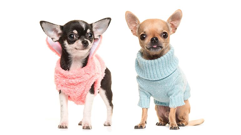 accesorios para perros chihuahua