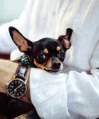 Chihuahua cabeza de venado temeroso: 10 señales inconfundibles