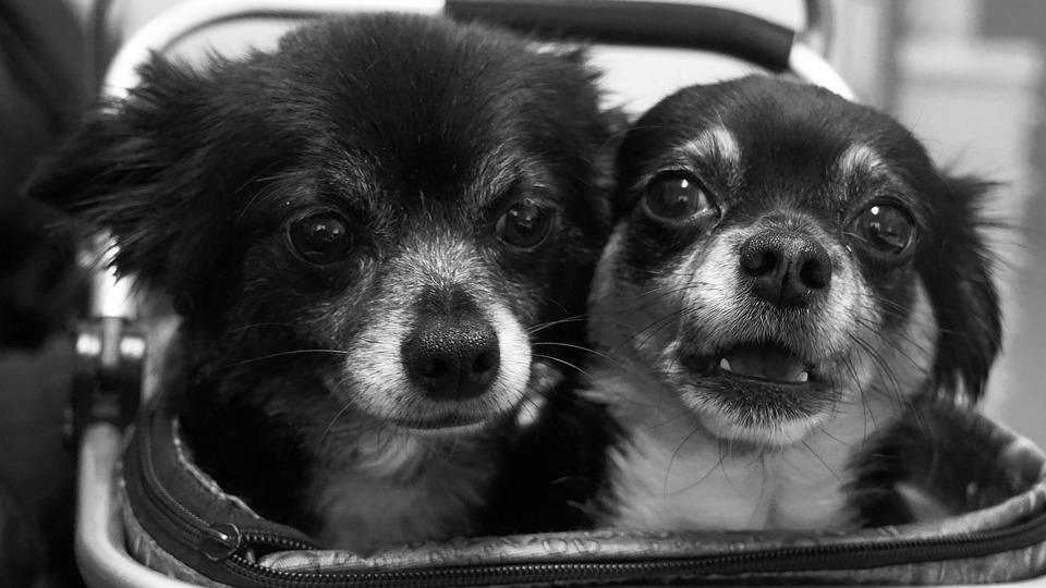 Historia perro Chihuahua 1