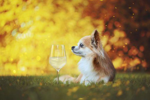 Alimentación perro Chihuahua cabeza de Venado