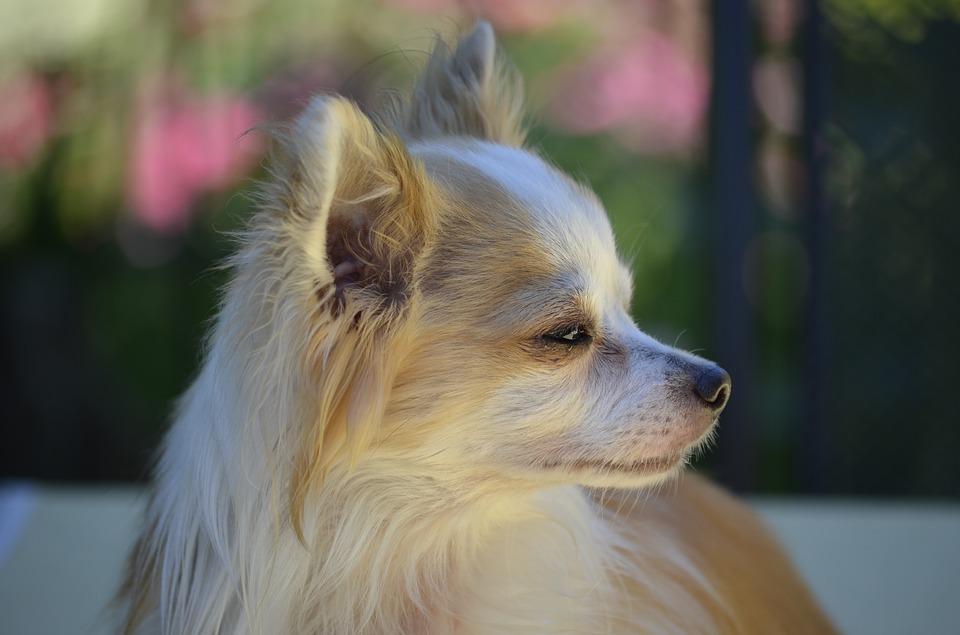 Chihuahua agresividad