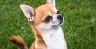 Cómo reconocer un Chihuahua original