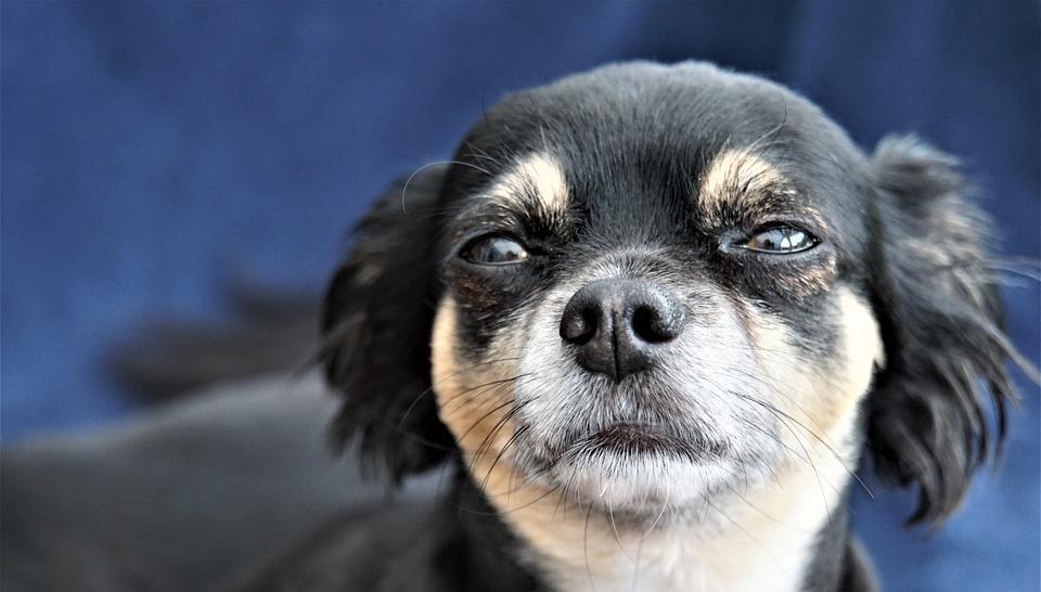 ¿Por que llora mi Chihuahua? : razones y remedios 1