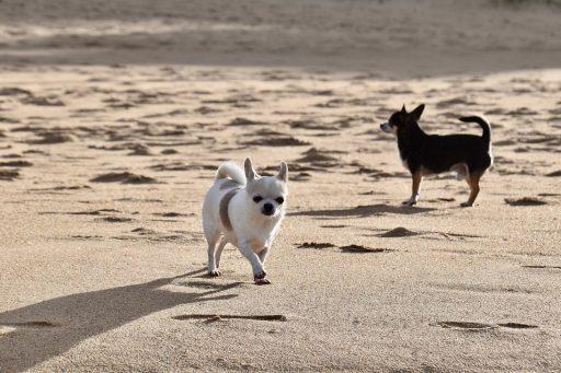 ¿Por que llora mi Chihuahua? : razones y remedios