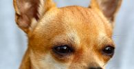 Chihuahua cabeza de ciervo deprimido: identifique los principales signos