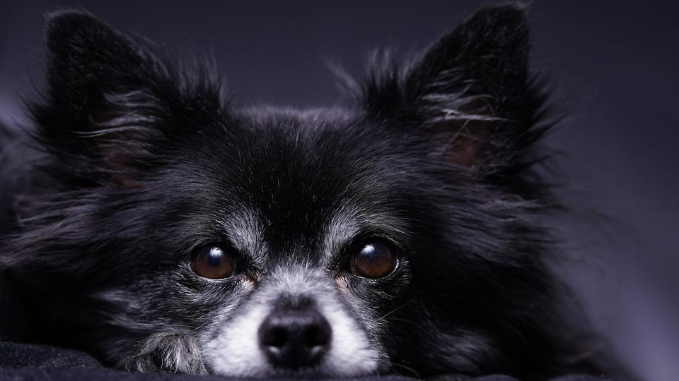 Chihuahua cabeza de ciervo deprimido: identifique los principales signos1