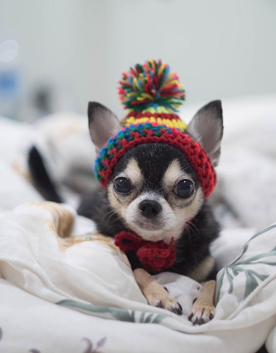 Proteger al Chihuahua cabeza de venado del frío1
