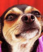 Proteger al Chihuahua cabeza de venado del frío