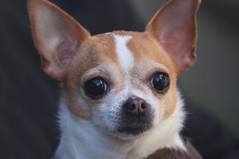 Rascado del Chihuahua cabeza de venado: causas y remedios1