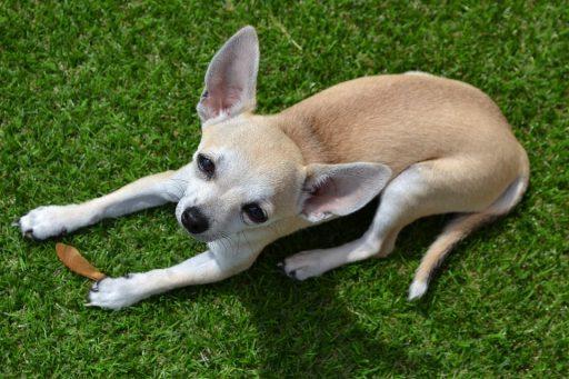 Alimentación natural para chihuahuas con insuficiencia renal